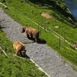 Brown bear in bear park , Bern, Switzerland. — Stock Photo
