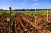 French vineyard — Stock Photo
