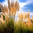Reed on sky background — Stock Photo