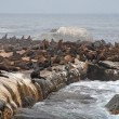 Stock Photo: Colony of wild fur seals (South Africa)
