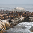 Colony of wild fur seals (South Africa) — Stock Photo