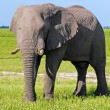Wild african elephant in african savannah — Stock Photo