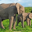 Mother and baby african elephants, Botswana. — Stock Photo