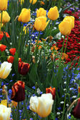 Yellow and red tulips in garden — Stock Photo