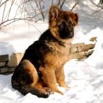 German Shepherd puppy on the snow — Stock Photo #30562301