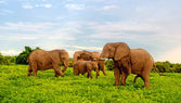 African elephants in bush savannah. Botswana, Africa. — Stock Photo
