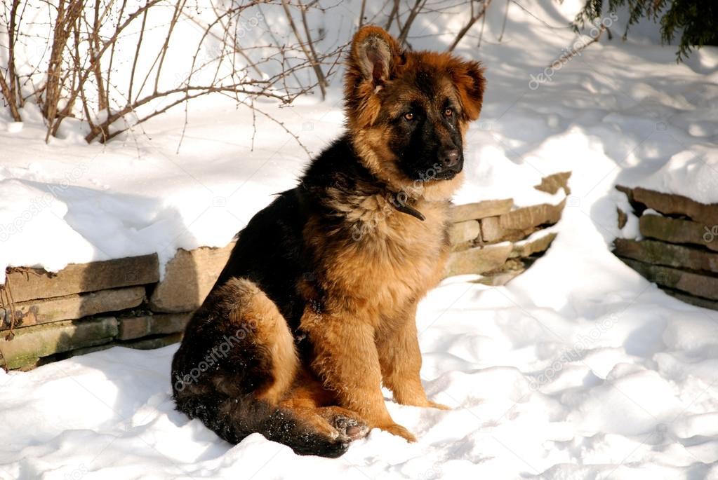 Askal Dog For Sale