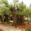 Old olives in Gethsemane garden — Stock Photo