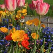 Pink tulips and yellow poppies with multicolored garden flowers — Stock fotografie