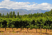 Vineyard in West Cape(South Africa) — Stock Photo