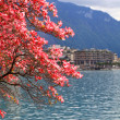 Stock Photo: Blooming magnolibranch, Lake Geneva, Switzerland.