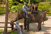 Mahout and elephant at The Elephant Safari Park,Bali — Stock Photo