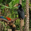 Wreathed hornbill on the branch in rainforest — Stock Photo