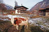 Cow on Alpine farm  — Stock Photo