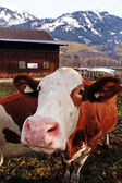 Curiosity cow on Alpine farm — Stock Photo