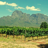 Vineyard in province West Cape(South Africa) — Stock Photo