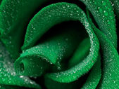 Green rose — Stock Photo