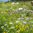 Stock Photo: Blooming mountain meadow