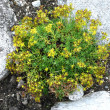 Yellow Mountain Saxifrage — Stock Photo