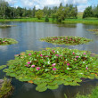 Pond with water lilies — Stock Photo