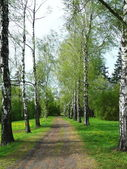 Alley of silver birches — Stock Photo