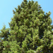 Cypress tree — Stock Photo