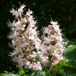 Aesculus indica — Stock Photo