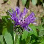 Centaurea montana — Stock Photo #45590481