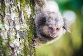 Wild brazilian monkey — Stock Photo