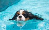 Hund schwimmen. Vorderansicht — Stockfoto