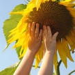 Children's hands reach for the sunflower similar to a sun agains — Stock Photo