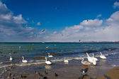 Swans on the sea — Stock Photo