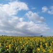 Sunflowers field - 图库照片