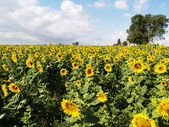 Sunflowers field with a tree — Stock Photo