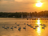 Swans in the beautiful sunset over the lake with bridge, — Stock Photo