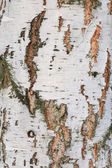 Background of the cortex tree birch wood — Stock Photo
