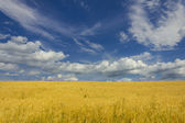 Field of mature wheat with great cloudy and deep sky — Stock Photo