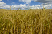 Ears of wheat and deep blue sky — Stock Photo