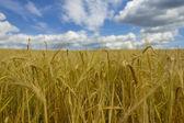 Field of mature wheat closeup — Stock Photo