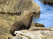Sleepy seal — Stock Photo