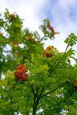 Rowan tree closeup — Stock Photo