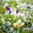 Flowers Growing in Snow — Stock Photo