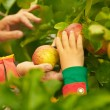 Hands Picking Apples from Tree - Stock Photo