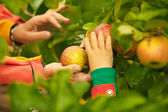 Hands Picking Apples from Tree — Stock Photo