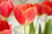 Red tulip bulbs blossoming  — Stock Photo