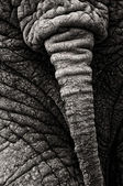 Elephant Tail — Stock Photo