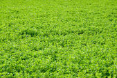 Alfalfa Field — Stock Photo