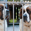 St. Bernard Dog — Foto de Stock