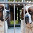 St. Bernard Dog — Stock Photo #33559199