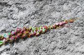 Tırmanma bitkiler — Stok fotoğraf